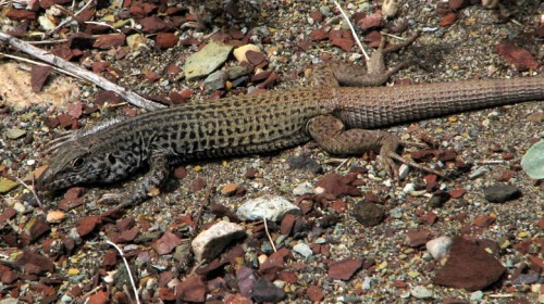 Tiger whiptail, photo by E. Shock