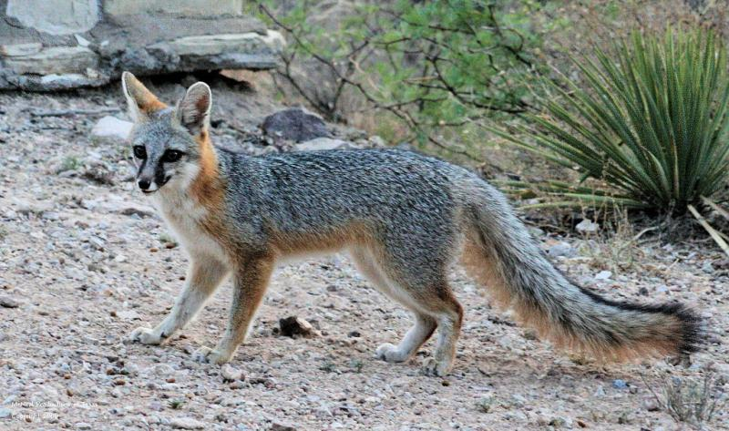 Photo of Gray Fox by Patti McNeal