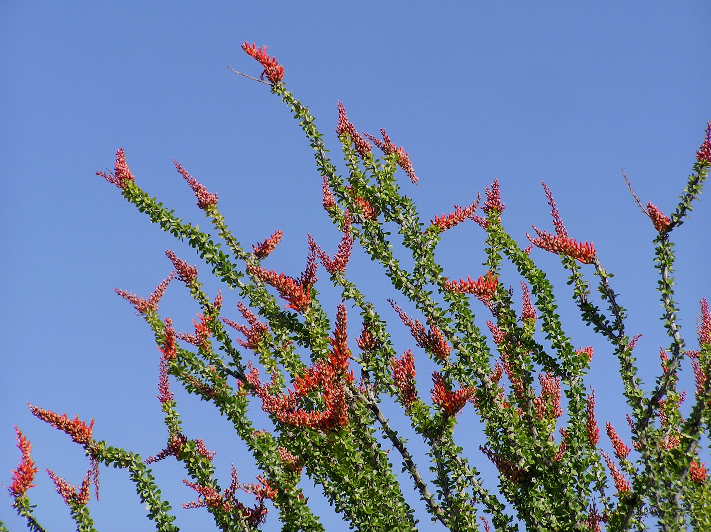 Arizona ocotillo in bloom; photo E. Shock