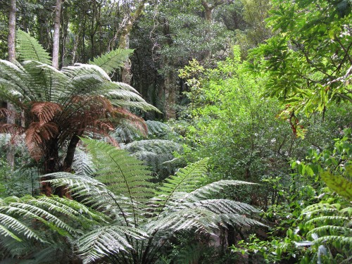 treeferns in Tounsen Kauri Preserve