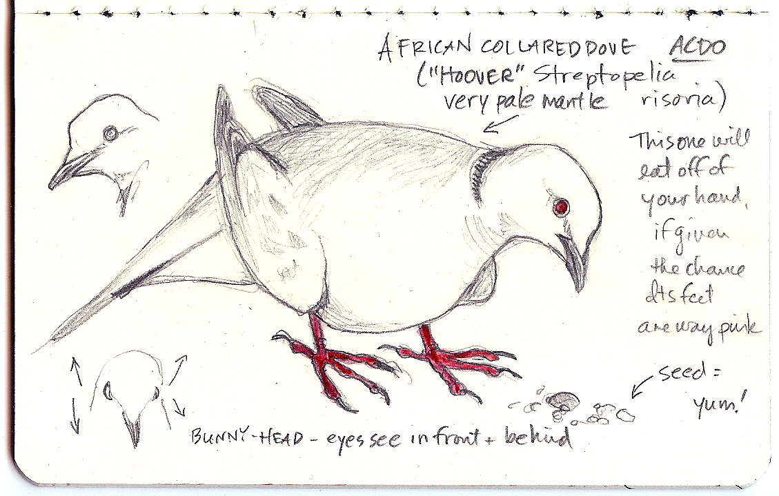 African collared dove vs eurasian collared dove - photo#7