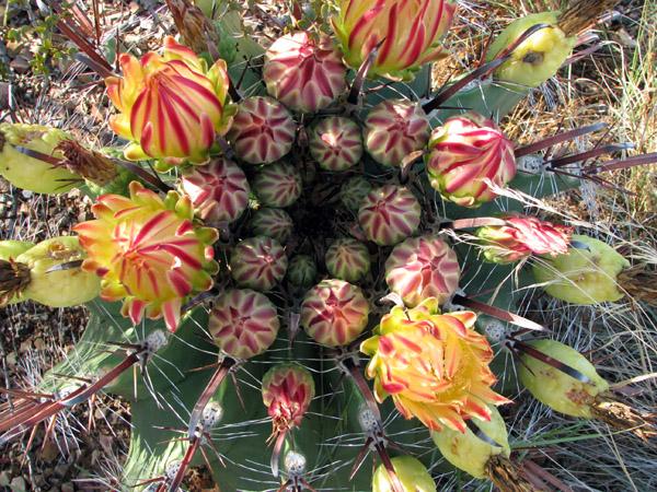 F-herrerae-flowers