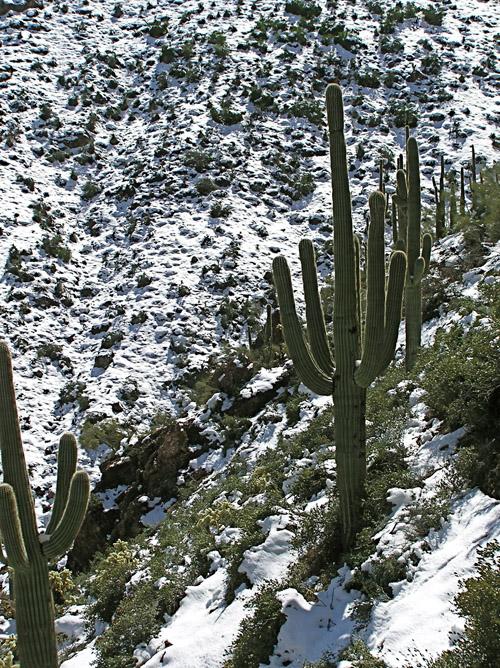 snowsaguaro