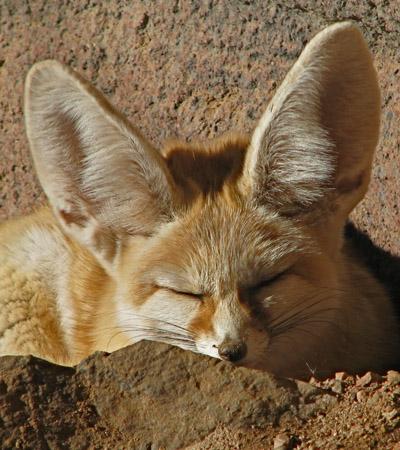 new_ears