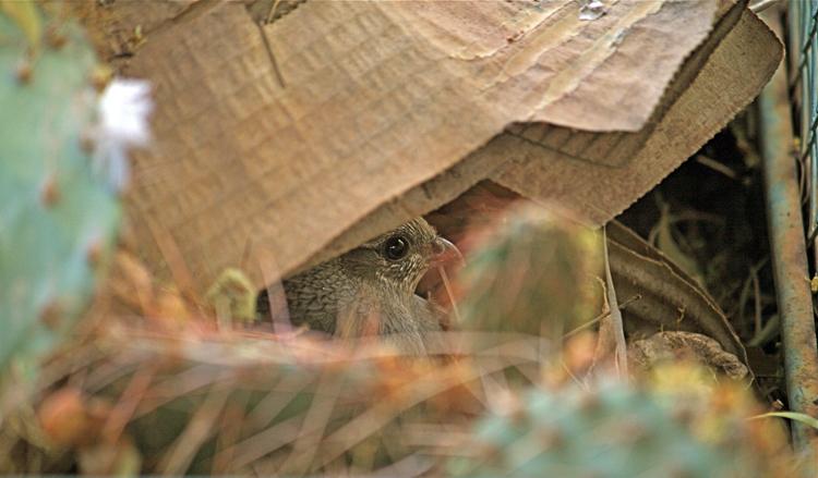 hidden hen