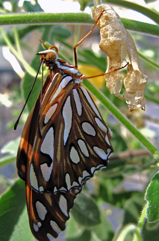 The chrysalis splits open, and the new butterfly hangs in the shade, pumping up its wings until they're sturdy enough to fly.