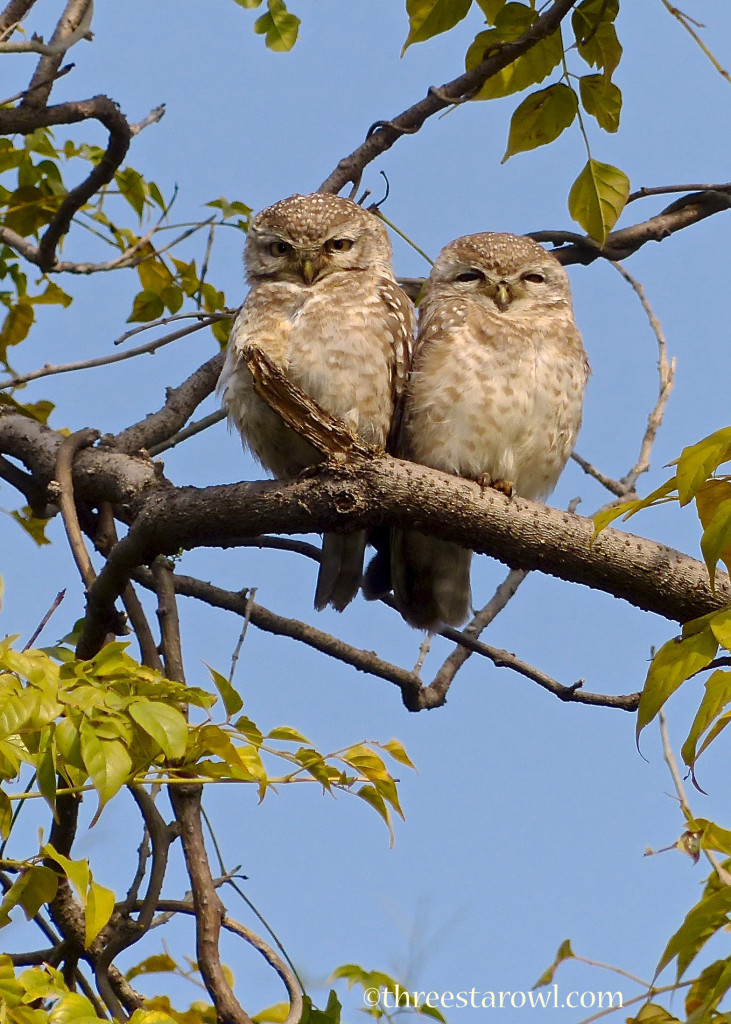 Spotted Owlets, photo A.Shock